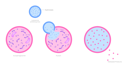 Lysosome and auto phagosome in human body vector / anatomy and organ concept.