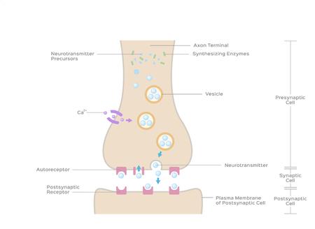 Synaptic transmission vector / bone anatomy concept