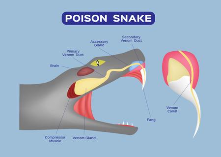 Poison snake infographic vector