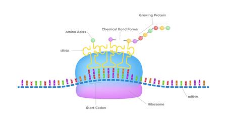 Le ribosome vecteur de synthèse des protéines assemble des molécules de protéines