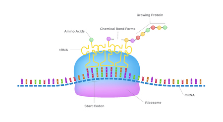 Protein synthesis vector ribosome assemble protein molecules Illustration