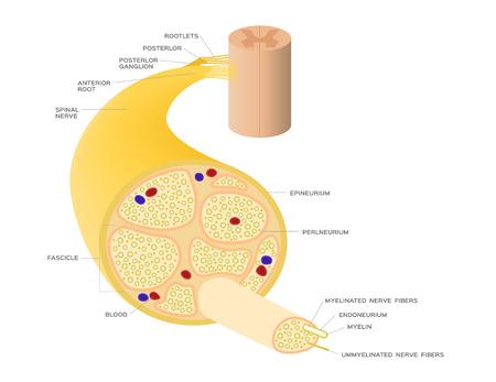 vecteur d'anatomie du système nerveux