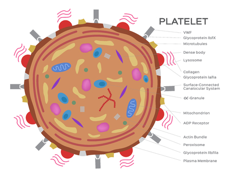 Platelet cell anatomy vector