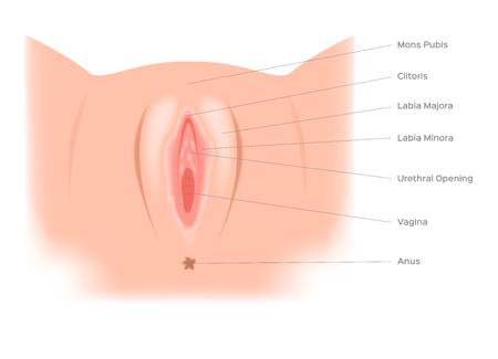 pussy vector anatomy / sex organ