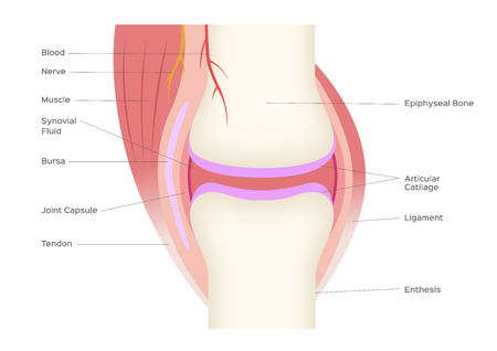 joint anatomy vector infographic