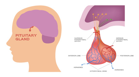 pituitary gland vector Illustration