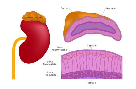 adrenal gland vector