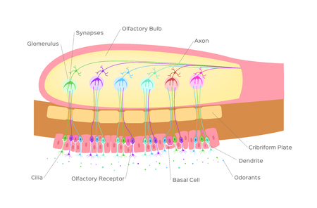 olfactory bulb (organ of smell)  nerve cells in nose  vector