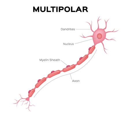 Neuron multipolar anatomy vector . infographic