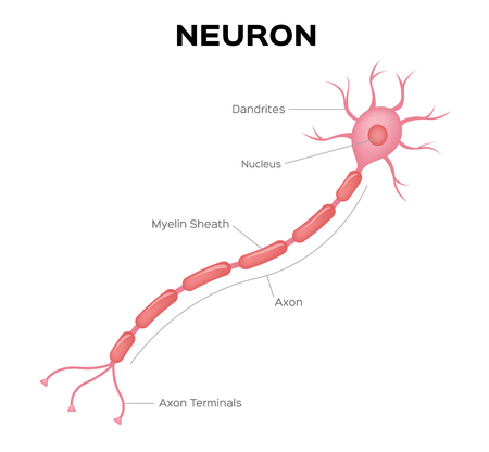 Neuron anatomy vector . infographic