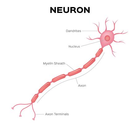 Neuron anatomy vector . infographic Vector Illustration