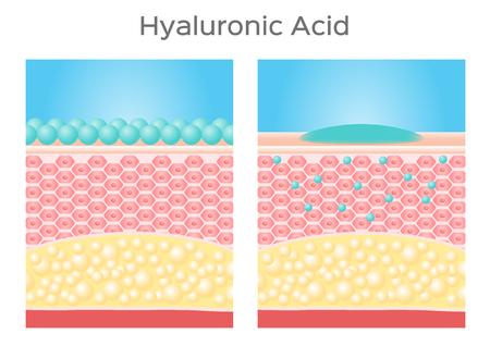 hyaluronic acid vector  skin Illustration