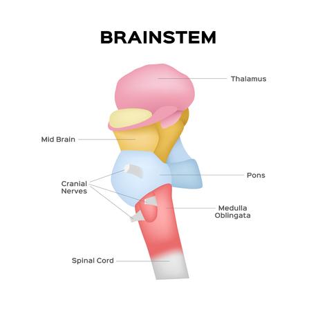 vector de tronco encefálico Ilustración de vector