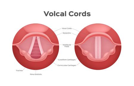 vocal cord vector , organ / anatomy / voice Vectores