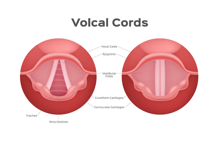 vocal cord vector , organ  anatomy  voice Illustration