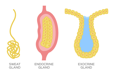 Epithelial gland  endocrine , exocrine and sweat gland vector Illustration