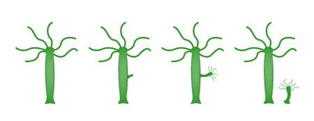 Hydra / Reproduktionsvektor