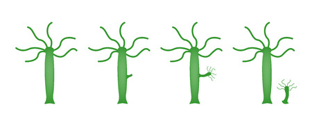 hydra  sexual reproduction vector Illustration