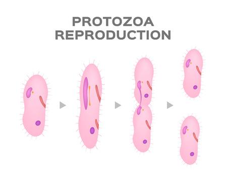 Reproducción de protozoos / células asexuales / vector