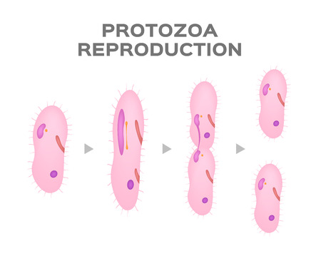 Reproduction of Protozoa  asexual cell  vector Illustration