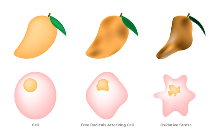 Oxidative Stress cell vector  free radical  mango