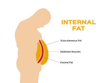 human belly and abdomen fat layer vector / subcutaneous and visceral fat Illustration