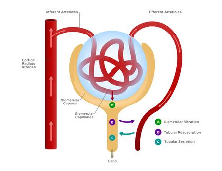 Nefrone vettore / formazione dell'urina / organo umano e anatomia Vettoriali
