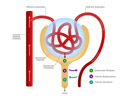 Nephron vector  formation of the urine  human organ and anatomy Ilustração