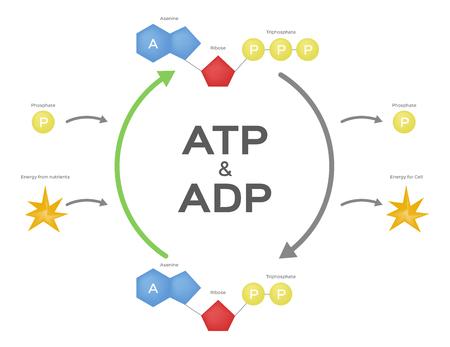 Adenosintriphosphat / ATP ADP-Zyklus. Vektor