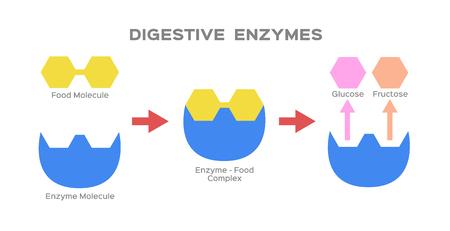 vector de enzima digestiva Ilustración de vector