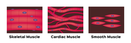 muscle type vector / cardiac , skeletal , smooth