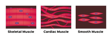 muscle type vector / cardiac , skeletal , smooth
