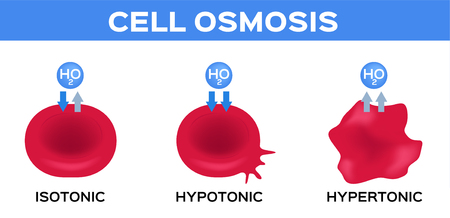 blood and cell osmosis vector  isotonic hypotonic and hypertonic