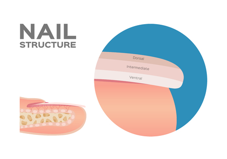 Structure of a Finger Nail . human . anatomy - Vector  dorsal, intermediate, ventral