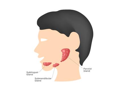 Glandes salivaires (glande sublinguale, sous-maxillaire et parotide) - Vecteur
