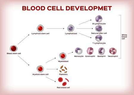 blood cell development  stem cell are transform to platelet white and red blood cell infographic chart  vector Illustration