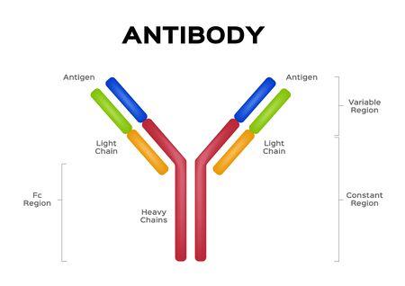 antibody molecule cell vector  Antigen Ilustração
