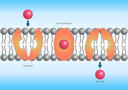 Diffusion facilitée ou transport facilité, anatomie cellulaire Vecteurs