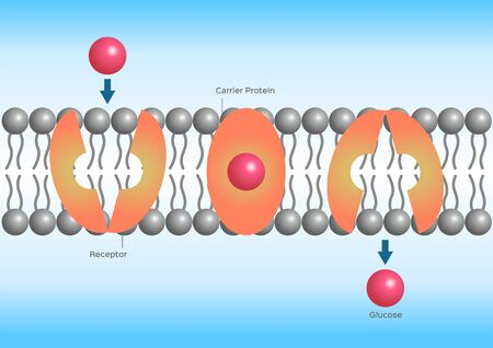 Facilitated diffusion or facilitated transport, cell anatomy Vector Illustration
