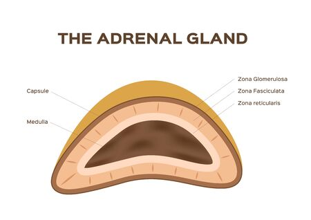 Human kidney, adrenal gland vector