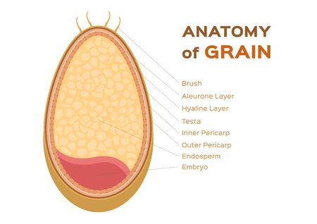 grain anatomy, wheat vector