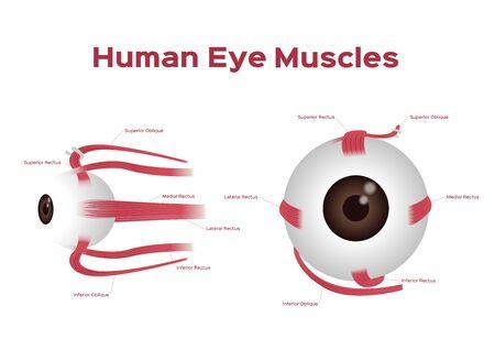 Human eye muscle vector onwhite background Illusztráció