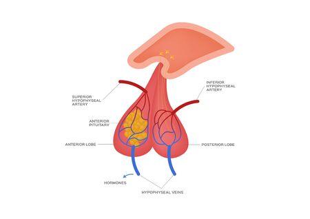vector de la glándula pituitaria / anatomía humana