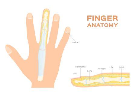 Structure of a Nail. human Nail . finger anatomy