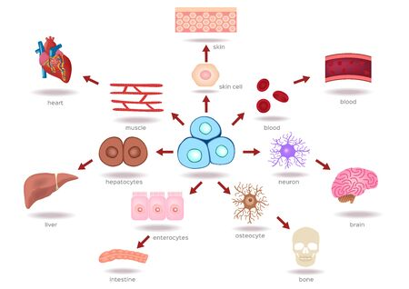 Illustration of the Human Stem Cell Applications on a white background Vektorové ilustrace