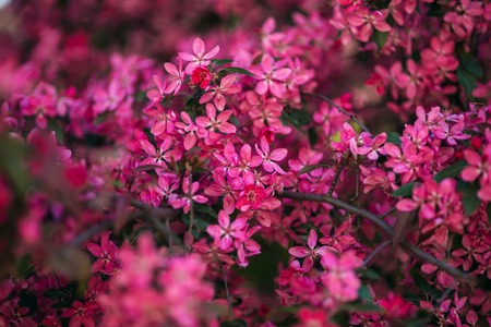 Pink tree blossomed in spring. Beautiful flowers