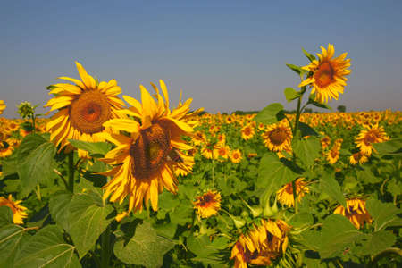 subsequent: brightly, the yellow flowerses of the sunflower turn round subsequent to sun
