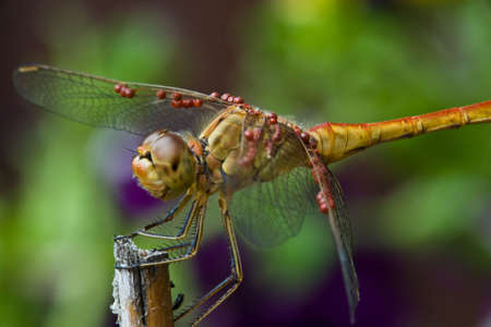 compound eyes: Dragonfly with compound eyes and thin wings