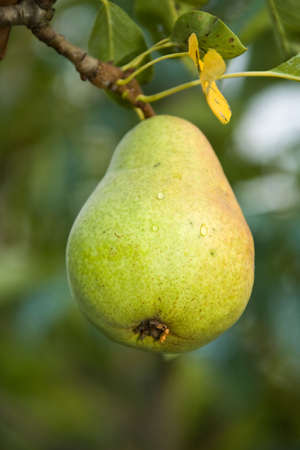 hangs: The fruit of a ripe pear hangs on a branch