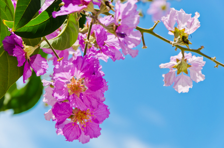 west bengal: Flowers on a tree in Kolkata, West Bengal, India, where it is locally called Jarul.